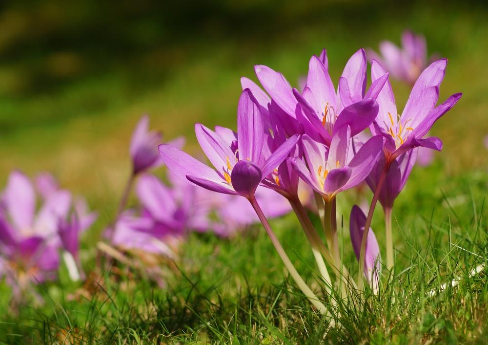 Herfsttijloos | giftige planten