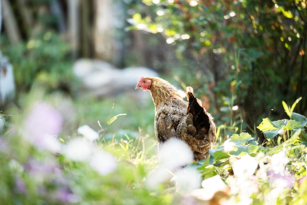 Kippen in de tuin | tips voor een diervriendelijke tuin