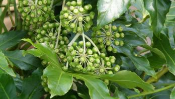 Mooie wintergroene heester: vingerplant (Fatsia japonica)