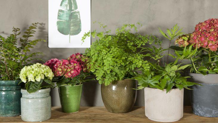 Gezond binnenklimaat met hortensia