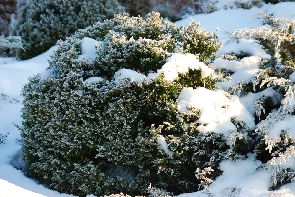 Buxus sneeuw