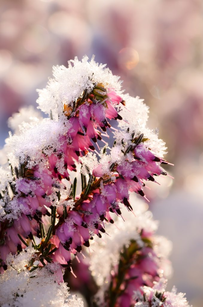erica carnea kleur in de winter