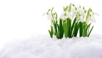 Sneeuwklokje, sneeuw, vroege bloeier, Galanthus nivalis