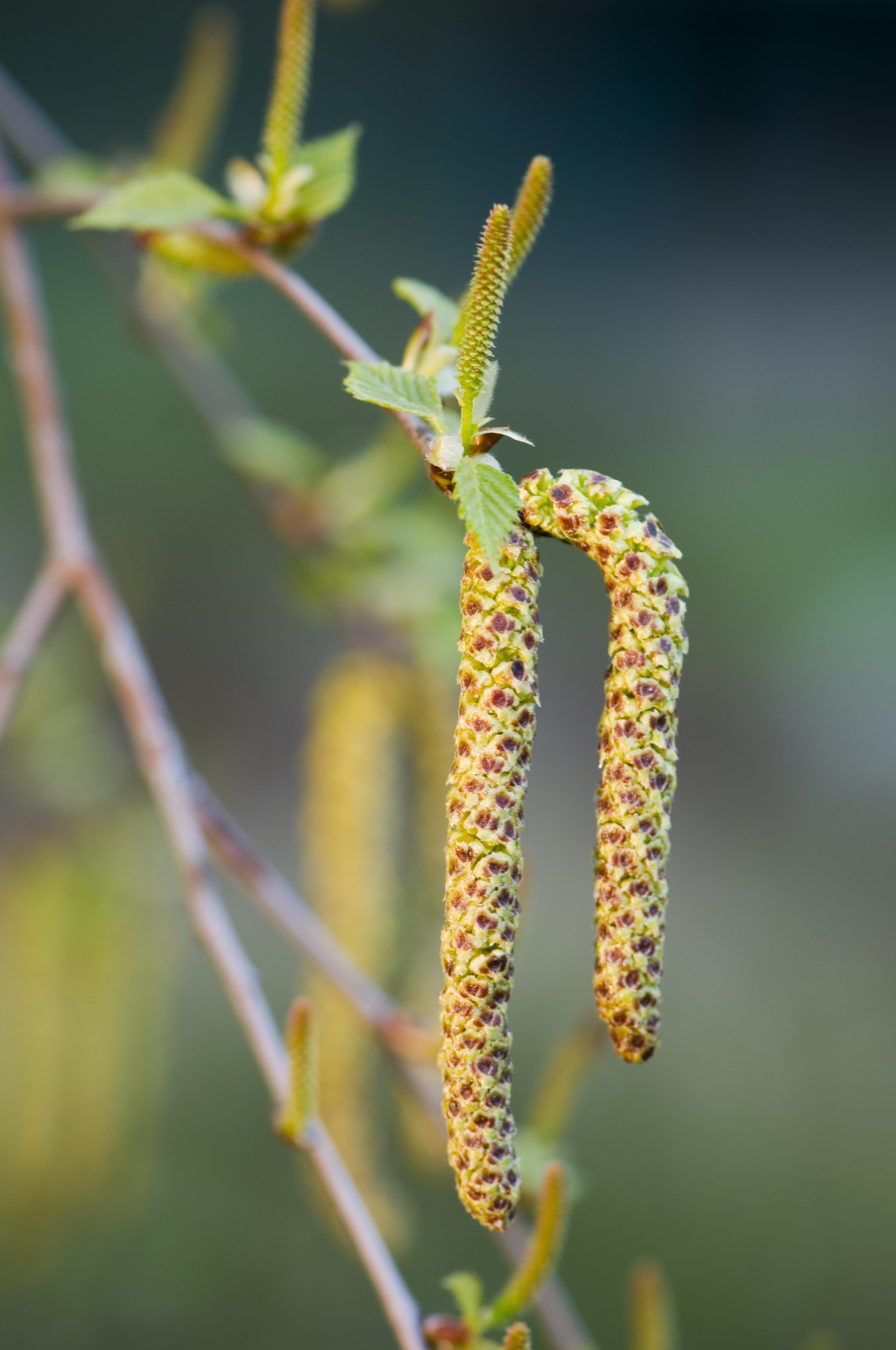 Betula utilis Jacquemontii, witte himalayaberk, berk, himalayaberk