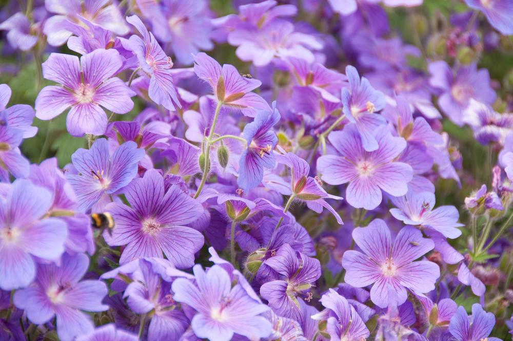 Geranium azure rush beste borderplanten