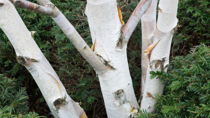 Waarom kiezen voor een Witte Himalayaberk