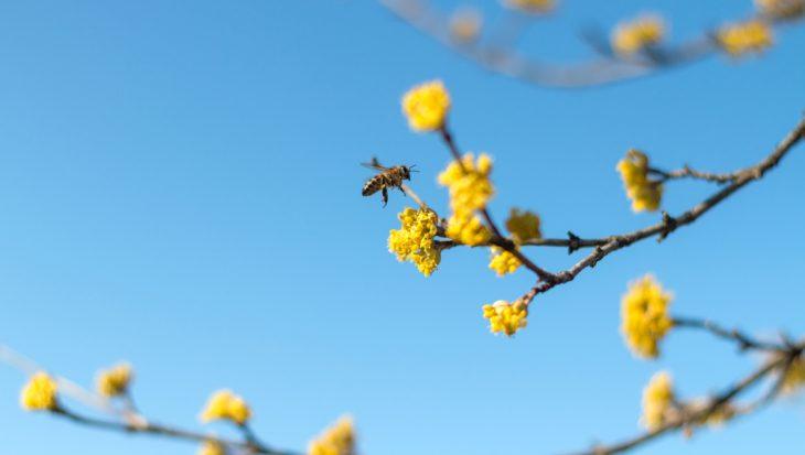 Gele kornoelje: een heerlijke voorbode van het voorjaar