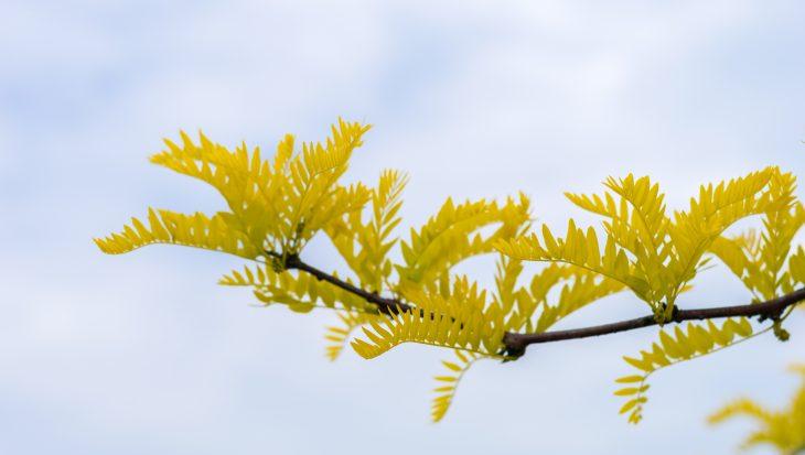Waarom kiezen voor Gleditsia triacanthos 'Sunburst'