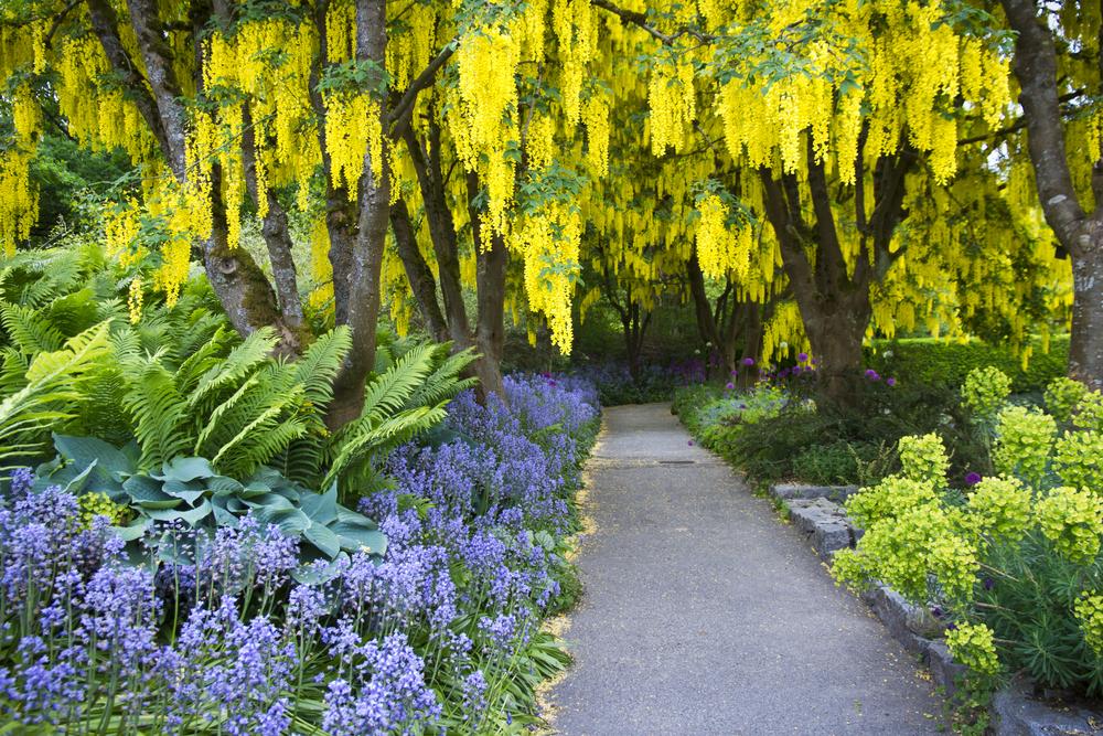 goudenregen, tuinseizoen