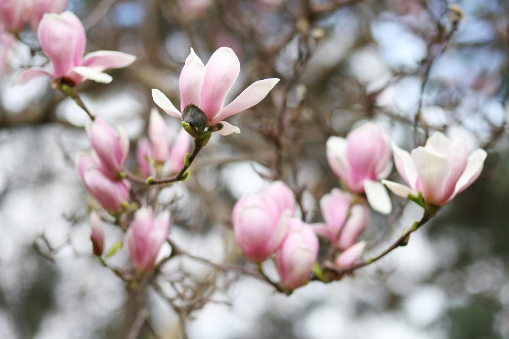 paastak, pasen, magnolia, tuinseizoen