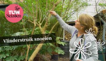Vlinderstruik snoeien, tuinvlog, annemarie görts, video, buddleja davidii, tuinseizoen