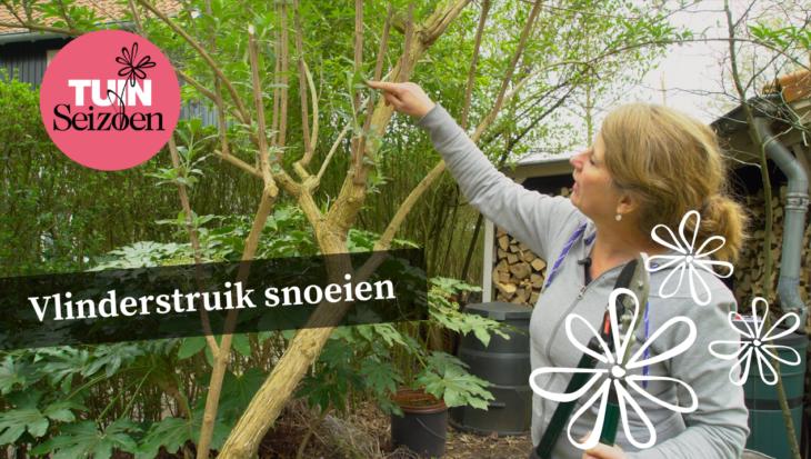 Vlinderstruik snoeien (Buddleja davidii) – Tuinvlog