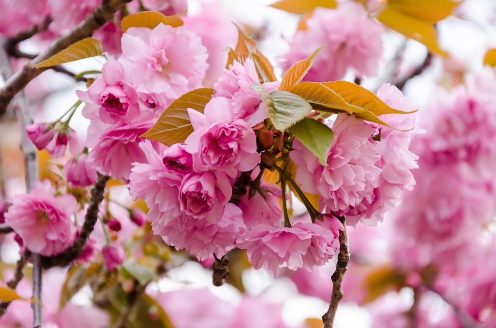 Prunus serrulata, japanse sierkers, paastak, pasen