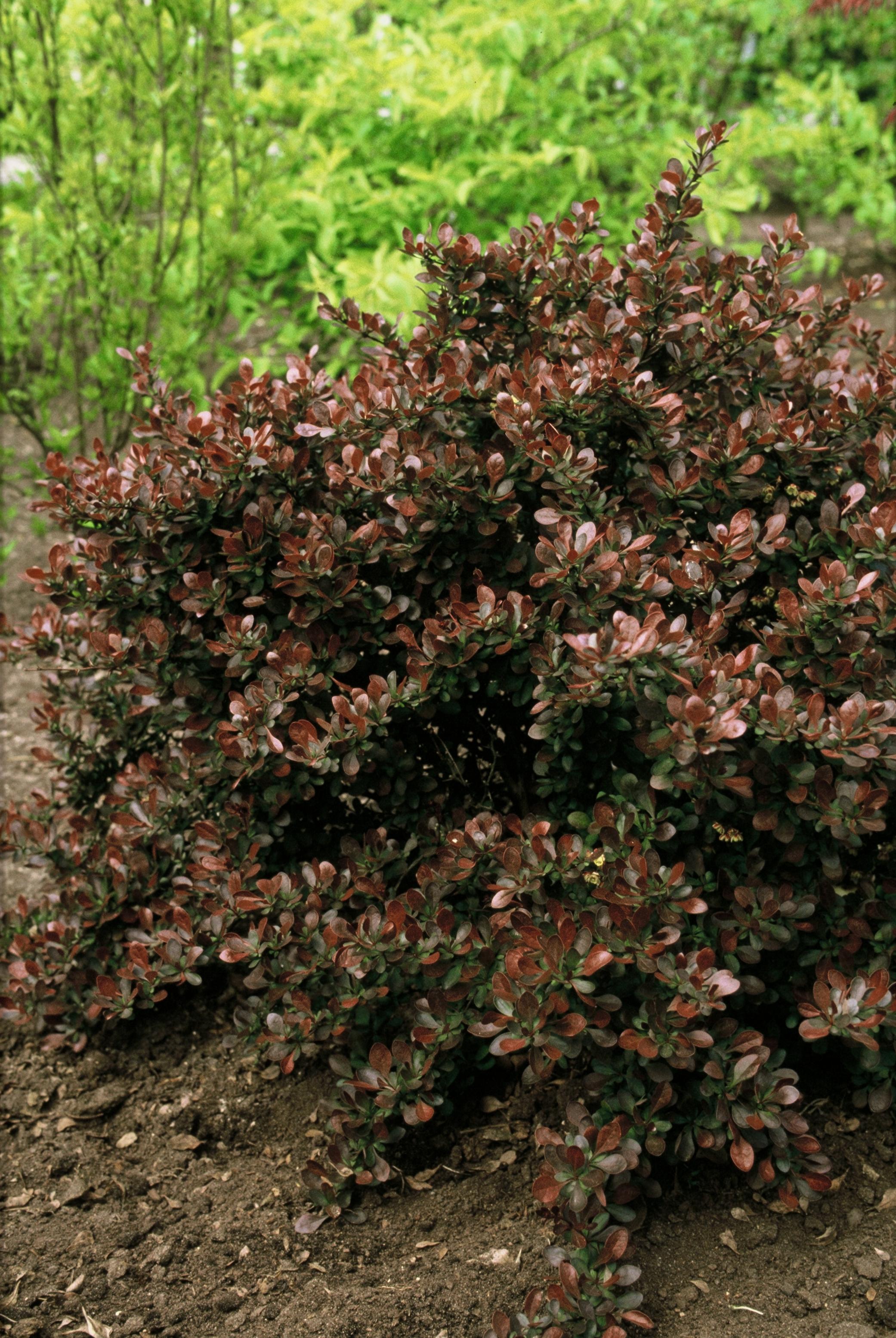 Berberis thunbergii 'Atropurpurea Nana' , alternatieven voor buxus