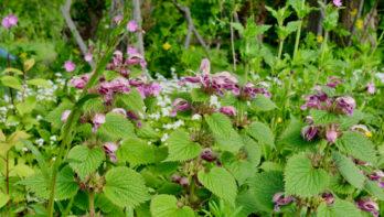 Lamium orvala: oudroze-witte lipbloemen in mei
