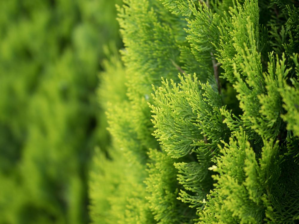 plantenbeurs, column, laurence machiels, conifeer, tuinseizoen