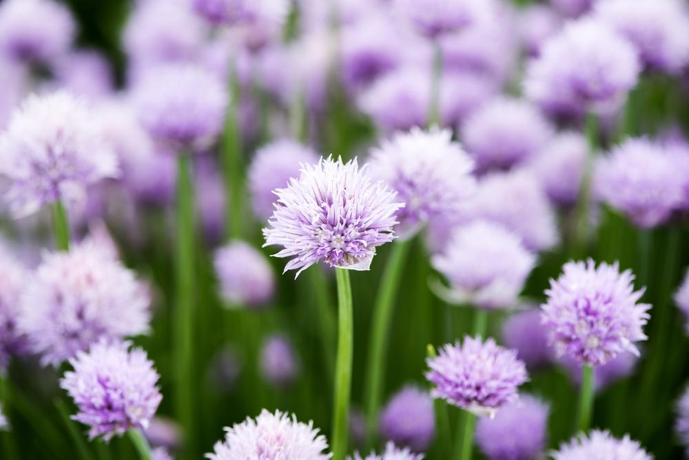 Allium schoenoprasum, bieslook, eetbare bloemen, tuinseizoen