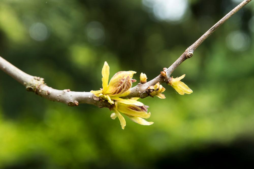 Catalpa bignonioides 'Aurea', trompetboom