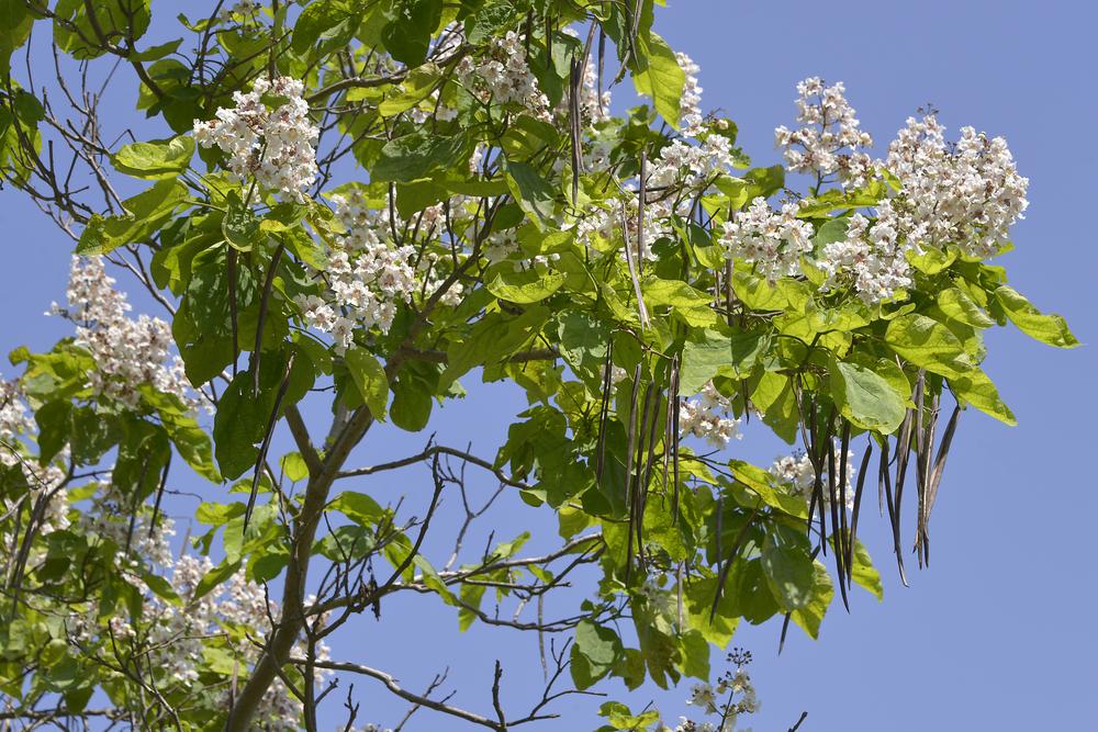 Catalpa bignonioides, trompetboom