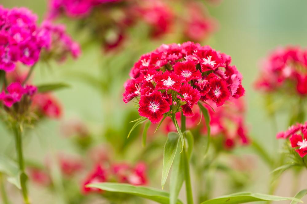 Dianthus barbatus, duizendschoon, eetbare bloemen, tuinseizoen