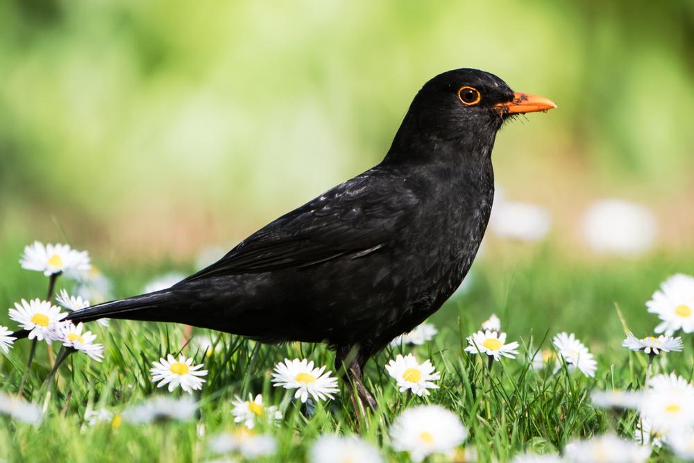 merel, vogels in je tuin, tuinseizoen