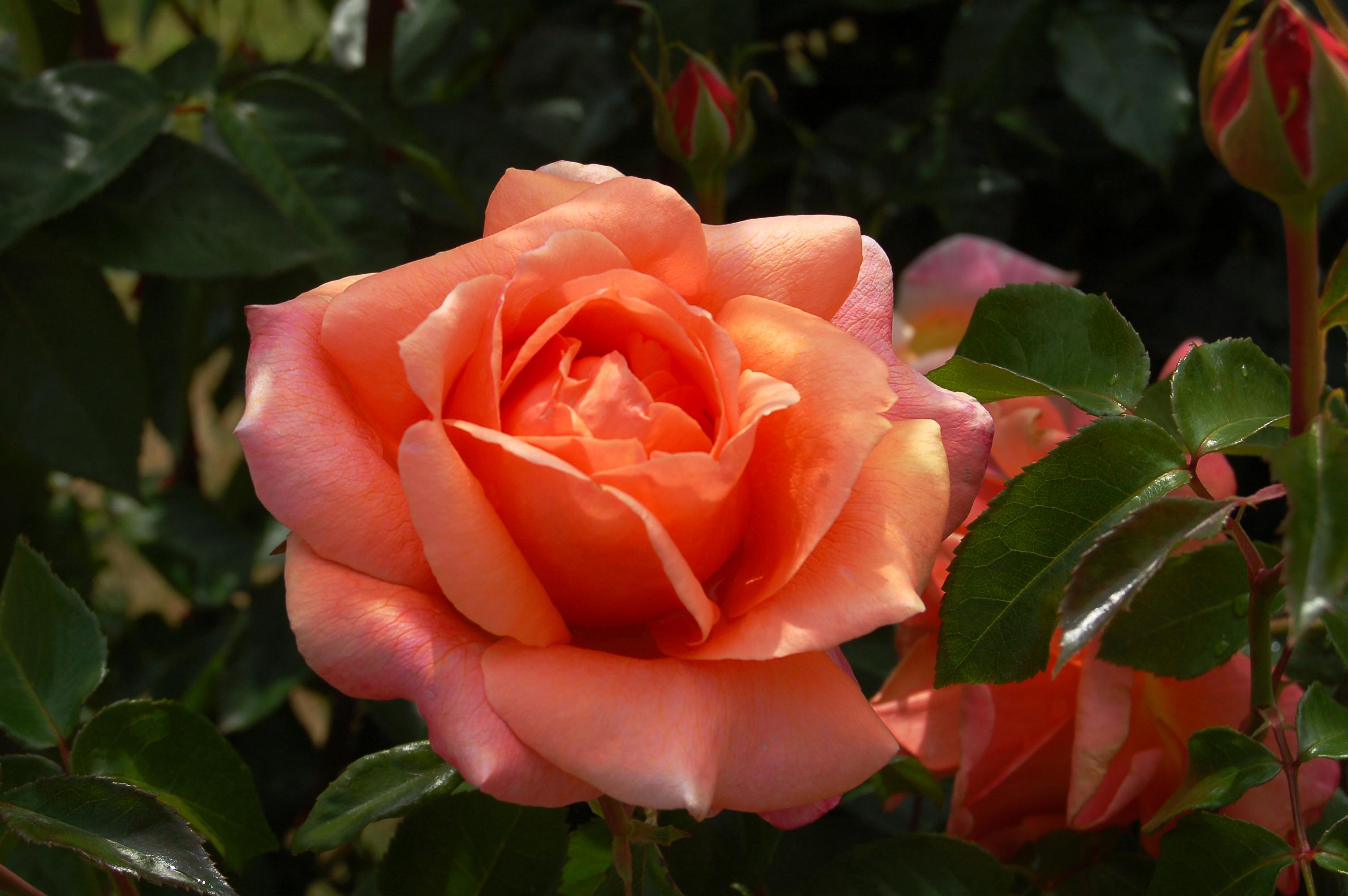 Rosa 'Cherry Brandy', roos, eetbare bloemen, tuinseizoen