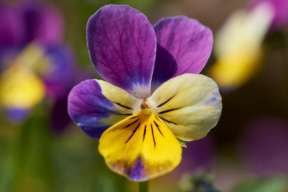 Viooltje, eetbare bloemen, tuinseizoen