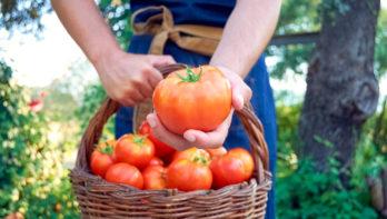 Tomaten verzorgen - De moestuin van Angelo