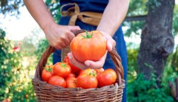 tomaten, moestuin, de moestuin van angelo, tuinzeisoen