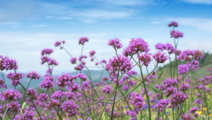 Verbena bonariensis – Maandenlang kleur