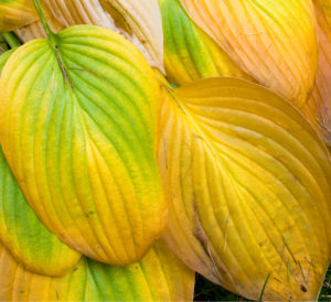 Hosta- hartlelie