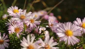 Aster Vasterival