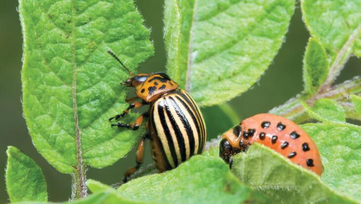 Plaaginsecten bestrijden met natuurlijke vijanden