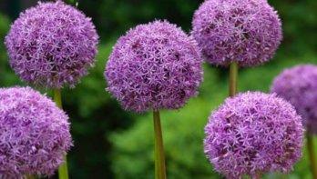 Puzzel oktober 2020: win 10 x Allium bloembollenpakket van Gardenlovers.nl