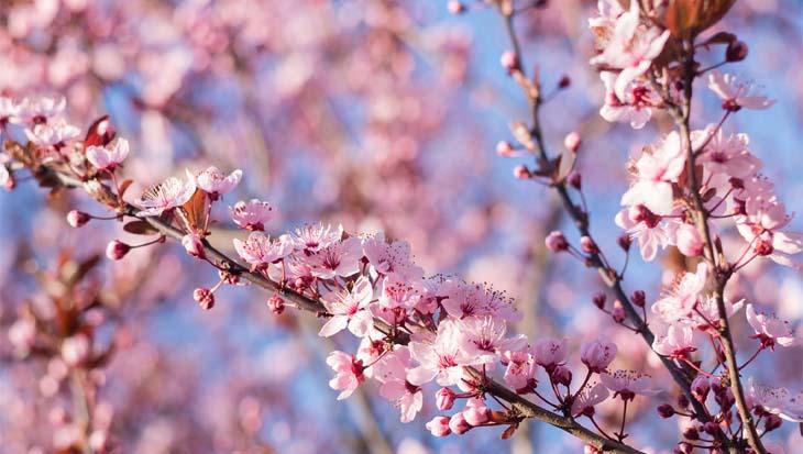 Prunus cerasifera 'Nigra' (kerspruim)