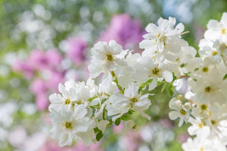 Exochorda racemosa (parelstruik)