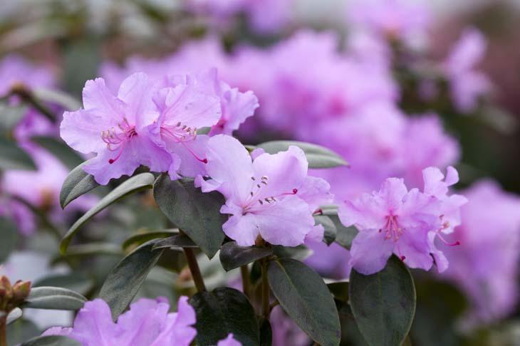 Rhododendron 'Praecox' (voorjaarsazalea)