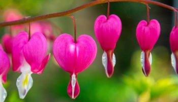 Dicentra spectabilis, gebroken hartje, bloeiende planten in april